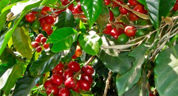 Coffee cherries on a plant in Guatemala