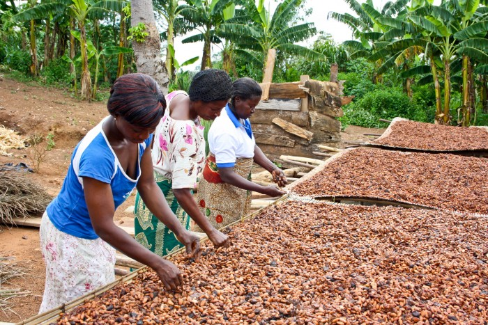 Cocoa beans being dried in Ghana
