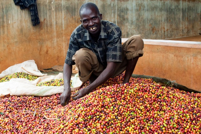Coffee farmer in Uganda selecting beans