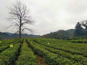 Sticky traps tea plantations China to capture pests